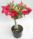 #5: Desert Rose Adenium Live Plant