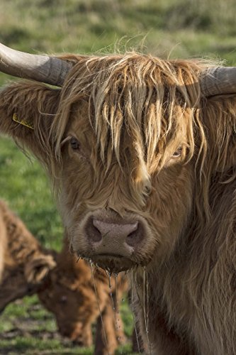 A Scottish Highland Cow Looking Back Journal: Take Notes, Write Down Memories in this 150 Page Lined Journal