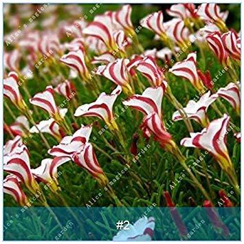 Vista 2: ZLKING 2pcs True Oxalis Fleurs Bulbes Rares Oxalis Versicolor Canne De Bonbons oseille Fleur Rotary Herbe Pot Maison Jardin Plante Bonsaï 2
