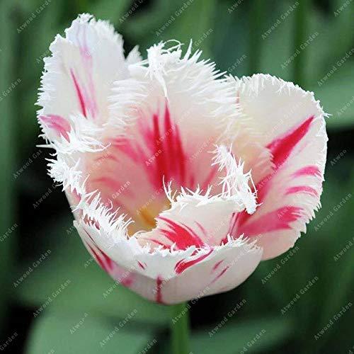 Shopmeeko GRAINES: 2 pièces National Fleur Tulipe de vivaces Jardin Plantes nombreuses variétés Bonsai colorés cadeaux de haute spécification Fleurs: 2TulipsFeather