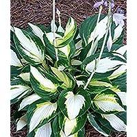 Fash Lady 100 STÜCKE Sementes Blumensamen Hosta Samen Feuer Und EIS Schatten mehrjährige Plantain Blume Bonsai Hausgarten Bodendecker Anlage 6