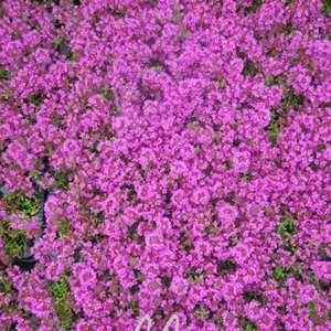 lichtnelke - Polsterthymian ( Thymus praecox ' Atropurpurea ' ) (Rosa Behindern Grün Und)