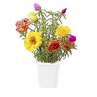 Chiamata anche porcellana comune, la portulaca è una pianta rustica conosciuta per i suoi fiori a rosellina con i petali dall'aspetto stropicciato che regalano coloratissime fioriture. n alcuni paesi è utilizzata anche in cucina per la preparazione d...