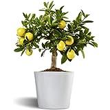 Limonero Limequat de interior - citrico enano de interior - fruta comestible - planta viva en maceta cerámica 12cm