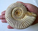 FS4030: Perisphinctes Ammonit aus Madagaskar, 80 - 100  mm