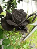 #4: Rare Grafted Exotic Black Rose Flower 1 Healthy Live Plant