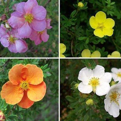 3-x-potentilla-shrubby-cinquefoil-long-flowering-shrubs-plant-in-9cm-pot