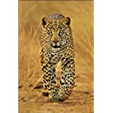 GB eye 61 x 91.5 cm Leopard Maxi Poster, Assorted