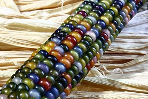 Elitely 20 Maissamen Sweet Rainbow Gemsesamen 95% + Keimung Essbare Bonsaisamen fr Hausgarten: Gelb