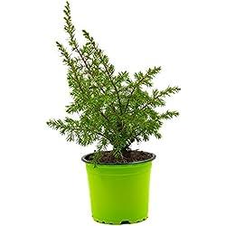 Grillwacholder Pflanze aus Nachhaltigem Anbau, Grill Wacholder Pflanze