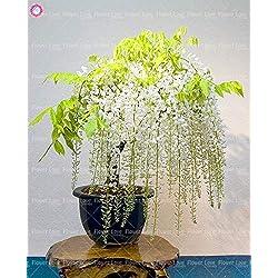 Virtue 10 stüCke Wisteria Baum Bonsai schöne Glyzinie Blume mehrjährige Innen oder außen blühende topfpflanzen für hausgarten anlage: 2