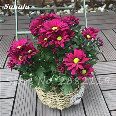 120 pcs graines graines de fleurs Daisy strawberry marguerite, fleurs de saison graines chrysanthème, Bonasi beau balcon fleuri coloré 13