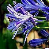 10PCS blu Clivia Agapanthus Africamus impianto all'aperto