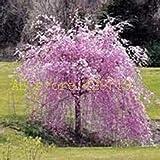 Semi Pacchetto: Mix: 20 pz Fontana piangente ciliegio Bonsai SeedSeed Sakura Seed SE