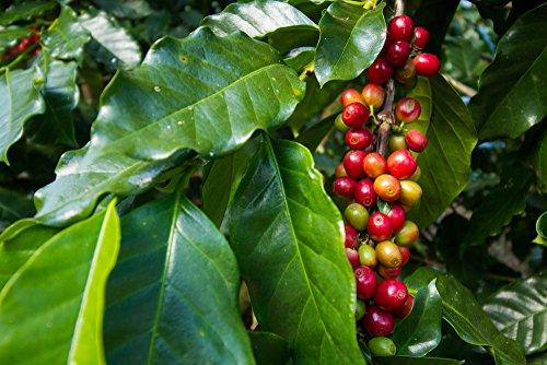 Coffea arabica Samen, Arabica Kaffee 5 Samen