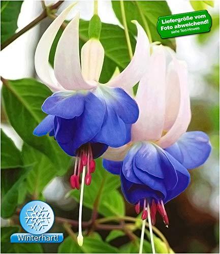 BALDUR-Garten Winterharte Fuchsien \'Blue Sarah\' Gartenfuchsien Freilandfuchsien, 3 Pflanzen Fuchsia