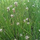 Sumpfried ( Eleocharis palustris ) Sumpfbinse