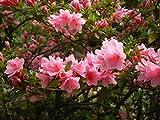 #10: Live Pink Azalea Plant