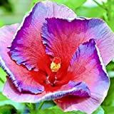 Yukio Samenhaus - 100 Stück Baumwollrose Hibiscus mutabilis Samen winterhart Blumenmeer für Ihr Garten,Balkon, Terassen, Bonsai