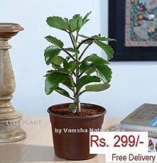 Vamsha Nature Care Panfuti (Bryophyllum Pinnatum) Patharkuchi Live Plant