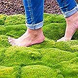 Adolenb Jardin- 100pcs de couvre-sol de graines de mousse Herb Plant Star Mélange de Moosphlox Plantes d'herbe ornementales vivaces Graines d'herbe décoratives pour balcon, jardin