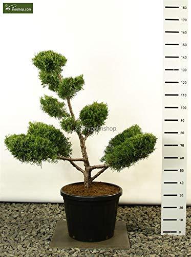 Modernes Formgehölz Goldener Strauchwacholder – Juniperus chinensis `Kuriwao Gold´ POM POM 140-160cm Topf Ø 54 cm