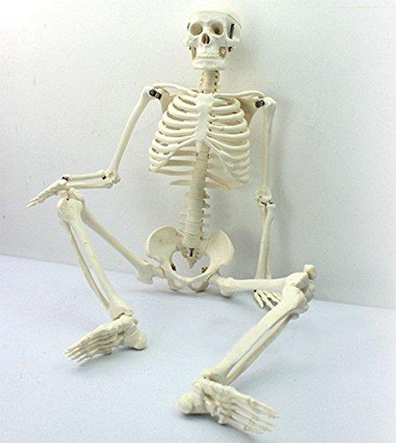 Tiptiper 45CM menschliches anatomisches Anatomie-Skelett für medizinisches unterrichtendes Modell Collectibles -