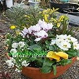 Pinkdose 100 Argyranthemum Frutescens Samen Marguerite Gänseblümchen, so hübsch, lange Blütezeit: Grün