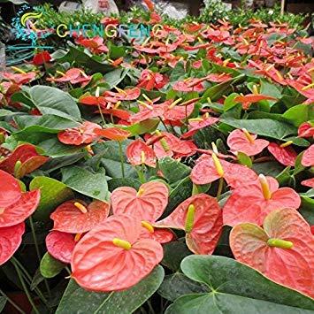 VISTARIC 6: Liliensamen, billiges Parfüm Liliensamen, Mischen verschiedene Sorten Blumen Samen- 100 Stück