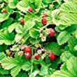 5 x potted Alpine Strawberry plants 9cm pots FREE DELIVERY