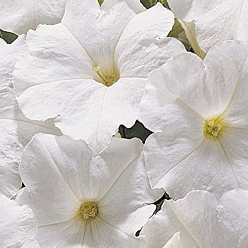 SeeKay Petunia Express White - 50 Pelleted seeds