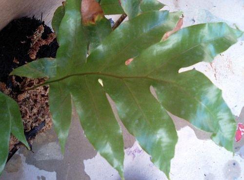 Drynaria sparsisora - Vogelnest Farn - 100 Samen