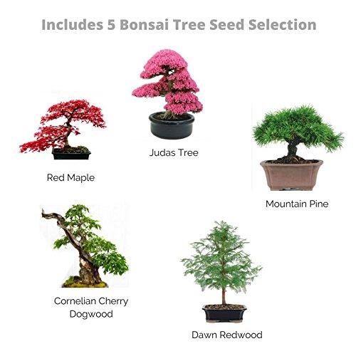 bonsai baum samen set z chten sie ihren eigenen. Black Bedroom Furniture Sets. Home Design Ideas