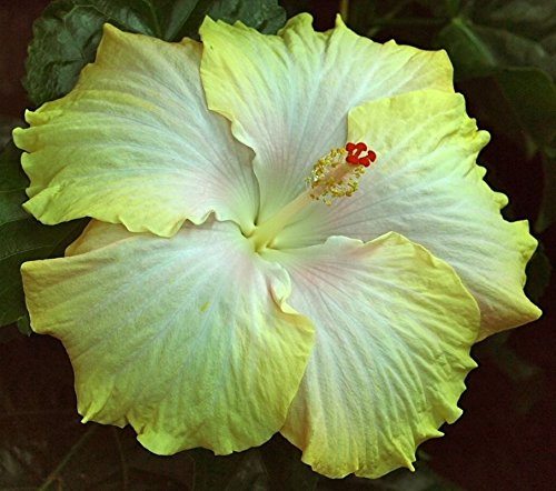 Ojorey Hibiscus Rosa Healthy Live Flower Plant Best Pot Indoor Flower Plant
