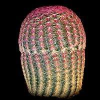 Echinocereus pectinatus rigidissimus seeds