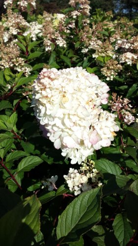 Rispenhortensie Hydrangea paniculata Limelight 80-100 cm im 7,5 Liter Pflanzcontainer