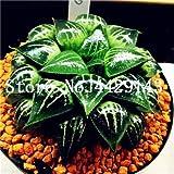 IDEA HIGH Seeds-200 Pcs/Lot Bonsai Büro Schreibtisch Blumen Yulu Pseudotruncatella Stein Viva Lithops Sweatshirts Bonsai Anti-Strahlung Luftreinigung: 2