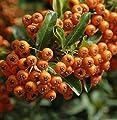 Feuerdorn Orange Glow 100-125cm - Pyracantha von Baumschulen auf Du und dein Garten