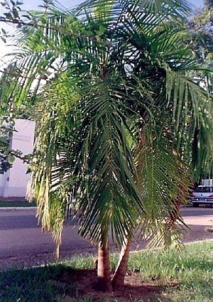 Jucara-Palme, Kohlpalme - Euterpe edulis - Samen