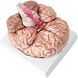 Modelo de Cerebro Humano con Base