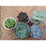 CAPPL Small Exotic Succulents Plants, Echieveria and Others Qty: 5 Live Succulents