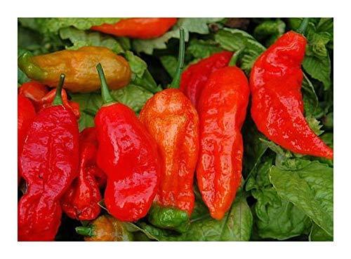 Chili Bhut Jolokia hot pepper - piment - 5 graines