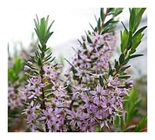 Agathosma ovata – Falsche Buchu – 10 Samen
