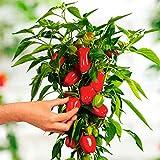 Qulista Samenhaus - 50pcs Süß-fruchtige Mini-Paprika Paprikapflanze Vitarossa F1 Gemüse Samen Mischung mehrjährig winterhart für den Balkongarten