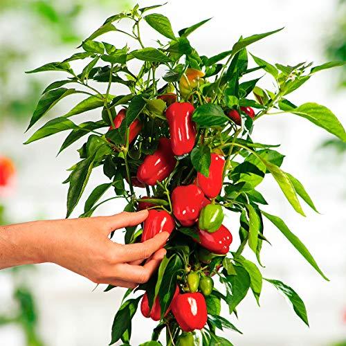 Qulista Samenhaus - 50pcs Süß-fruchtige Mini-Paprika Paprikapflanze Vitarossa F1 Gemüse Samen Mischung mehrjährig winterhart für den Balkongarten -
