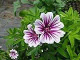 Portal Cool Fairy Blumen-Samen Malva sylvestris Zebrina X20 Seeds Hardy Perennial