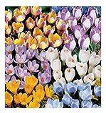 50x Krokusse botanisch gemischt-Krokuszwiebeln F1 Zwiebeln Garten K-ZKH28