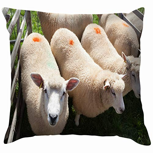 beautiful& Moretoninmarsh Gloucestershire England September 02 2017 Animals Wildlife Sheep Throw Pillow Case Cushion Cover Pillowcase Watercolor for Couch 18X18 Inch