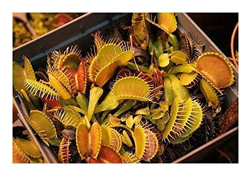 Dionaea muscipula Yellow-Orange - Attrape-mouche - 5 graines