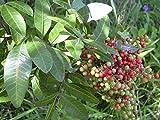 Schinus terebinthifolius - Brasilianische Pfefferbaum - 10 Samen